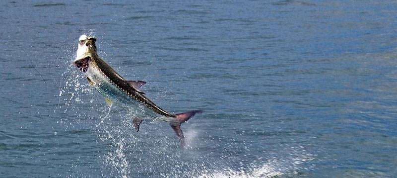 A picture of Louisiana Tarpon Fishing with Legends of the Lower Marsh